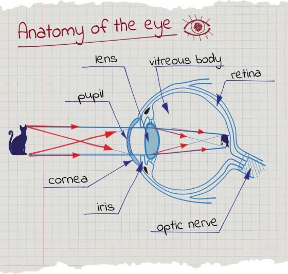 Как работи окото - схема